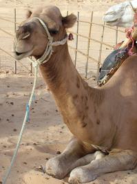 camel-taxi 1