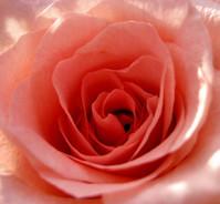 closeup peach rose