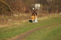 Lucky the beagle 1
