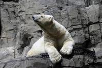 Polar bear at central park zoo