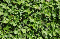 ivy texture 1