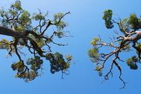 Looong Tree 3
