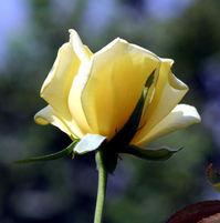 Yelliow Flower