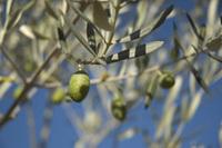 Olive in tree