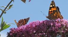 Butterflys 3