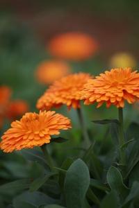 Organic marigold 1