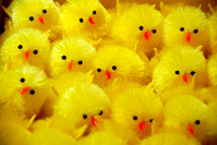 Easter chickens 3