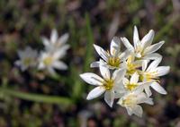 blooming herbs 3