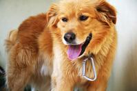 Basque dog