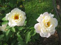White Roses w/ detail