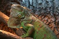Green Leguan