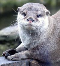 Otter playing