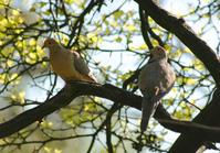 Doves in Tree