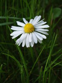 White Daisy Passing