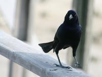 struttin crow