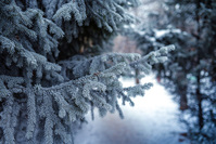 Frozen fir branches