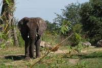 Elephant_looking