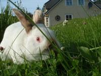 The rabbit, Pelle 2