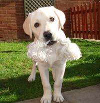Labrador Dog 1