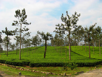Valparai Tea Estate