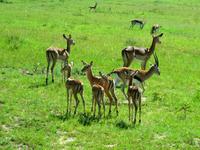 gazelle, impala, topi & hartebeest at Masai mara