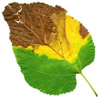 Leaf 42