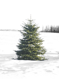 A Perfect Christmas Tree
