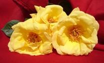 Gardener roses 1