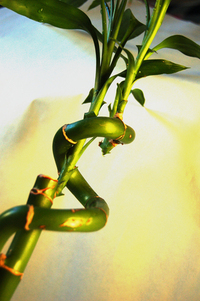 Lucky Bamboo 3