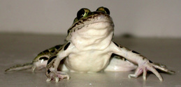 Northern Leopard Frog 2