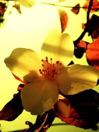 hibiscus leaf