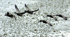 flying geese 1