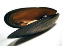 shoe Mussel