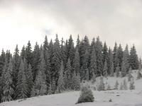 Straja, trees 2
