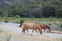 Caballos patagonicos