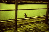 dublin duck