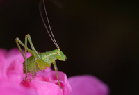 Grashopper on Rose 2