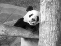 Panda Relaxation