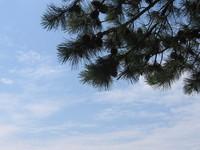 Pine Tree Against Sky