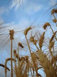 wheat00 3