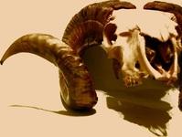 ram skull [brown 1]