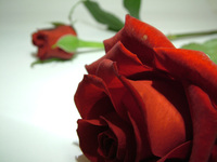 Red Rose12