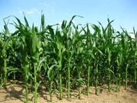 Corn in the sun