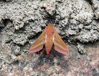 night-moth