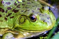 Frog 2