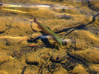 Mountain Lake Fish 2