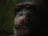 bored / sad chimp