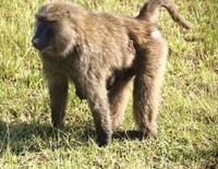 baboon mum 1