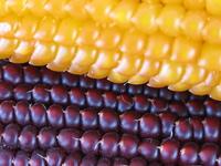 corn pictures series