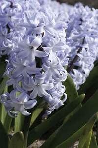 Hyacinth, Noordwijkerhout
